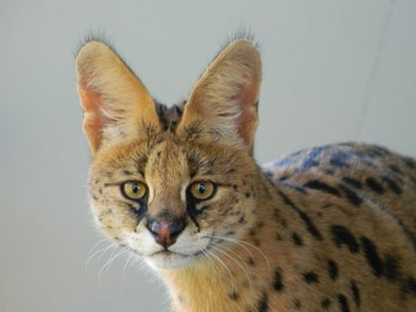 A serval is now part of the Darling Downs Zoo's family.