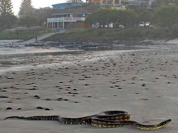 HEAT SEEKERS: Bruce McNaughton sent in this photo of a python sunning itself on Shelly Beach in Ballina last week.