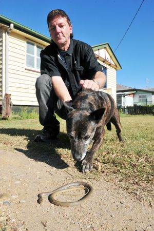 SNAKE TROUBLE: North Bundaberg resident Shaun Whelan was bitten by a brown snake earlier in the ear, yesterday he went outside to find that his dog had killed another brown snake. Photo: Max Fleet / NewsMail