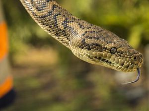 Mackay snake catcher warns of safety after two people bitten