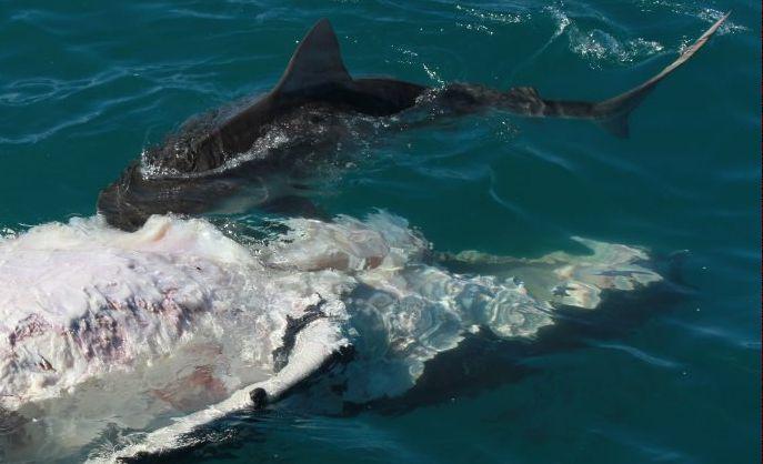 A shark attacks the carcass of a whale calf off Fraser Island.