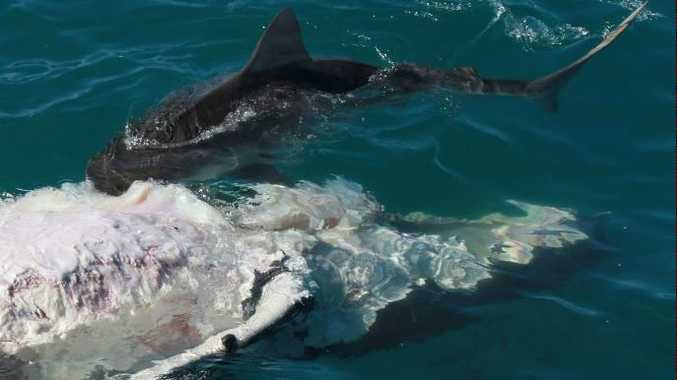 A shark attacks the carcass of a whale calf off Fraser Island.