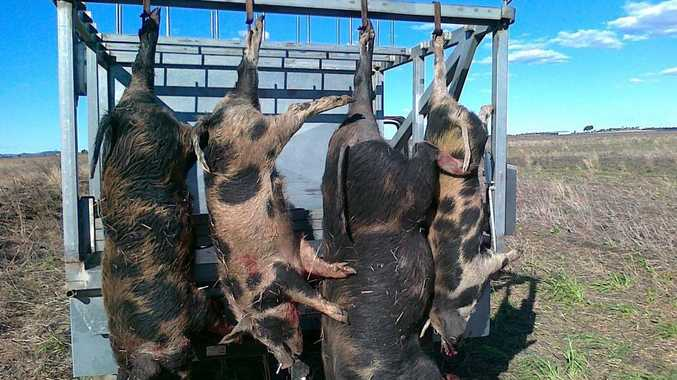 Four large feral pigs caught on a local Clifton grain property in February.