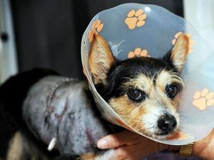 Dog euthanised after vicious attack on chihuahua cross