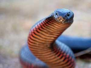 Tweed snakes enjoying the great indoors