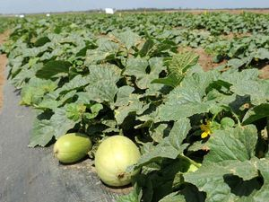 New push to grow melons in north Queensland