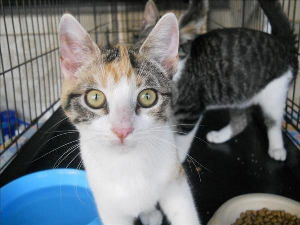 Domestic short hair cross, Becky, three-months-old, is up for adoption. Photo Contributed