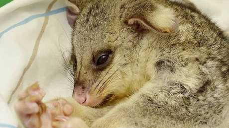 BEATEN UP: RSPCA vet nurse Annette Colling holds an injured juvenile brushtail possum.