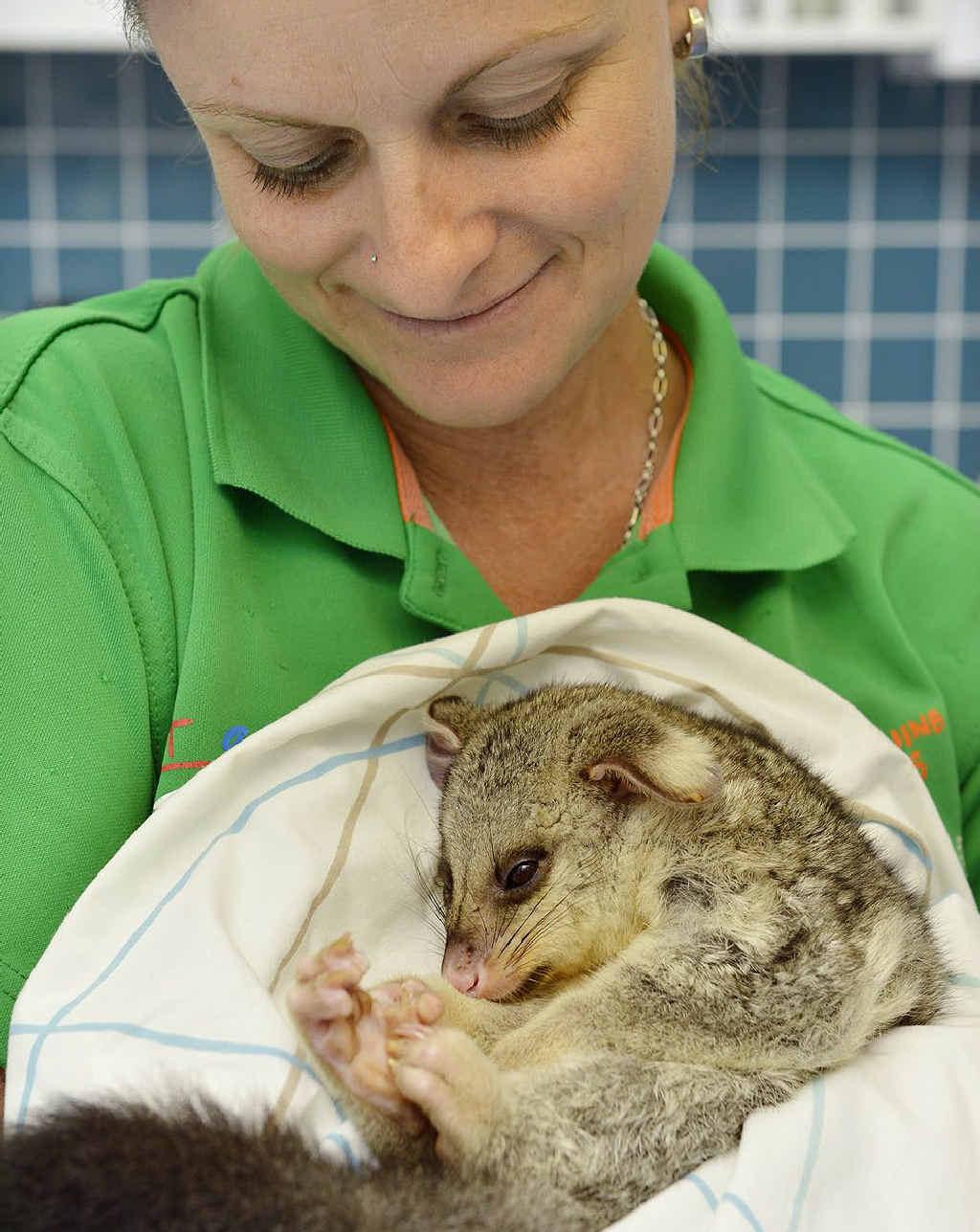 BEATEN UP: RSPCA vet nurse Annette Colling holds an injured juvenile brushtail possum.