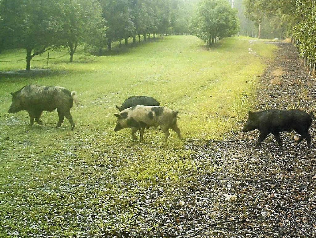 Pigs caught on motion activated cameras enter McConachie's orchard at Wolvi in July.