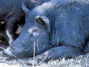 Guns at ready for feral pig season on Curtis Island