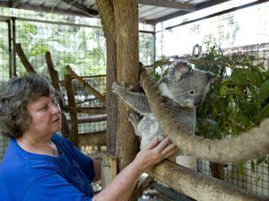 Highfields koala carer worried about development