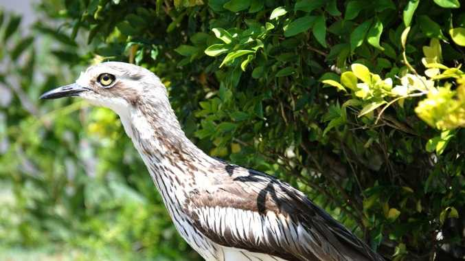 A curlew has died after being shot with an arrow.