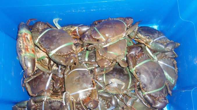 Part of the illegal crab haul taken at Redland Bay.