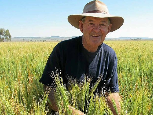 QUALITY CROP: Terry O'Halloran's crop of Spitfire wheat has been described by local agronomist Craig Blackett as being as good as any dryland crop he's seen in the Clifton district.