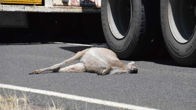 RISING TOLL: A road train swerves around a kangaroo carcass. Could a strong export market save macropods like this?
