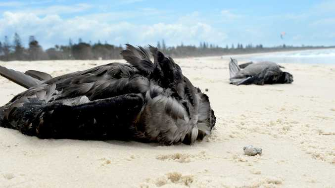 Mutton birds have been washing up dead on Tweed beaches.