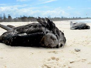 Dead mutton birds washing up on Fraser Coast beaches