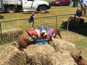 Pigs race at the North Coast National