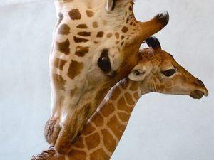 Baby giraffe drops in at Australia Zoo