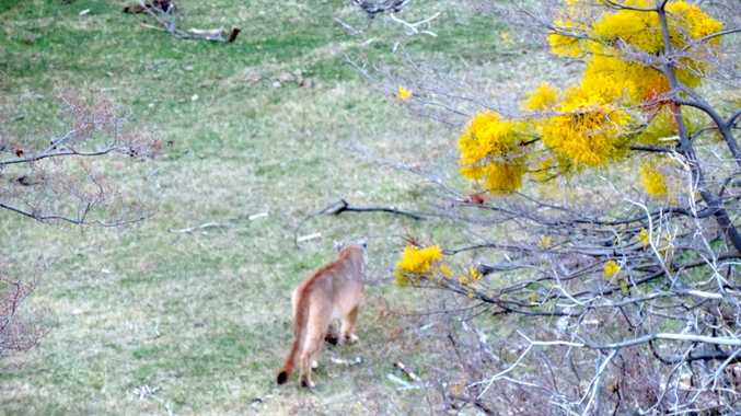 A Puma strolls along along the ridge opposite Las Torres hotel.