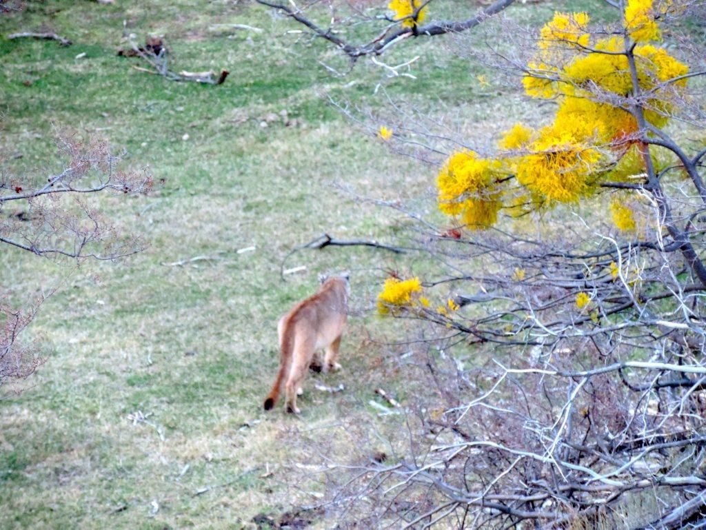 A Puma strolls along along the ridge opposite Las Torres hotel.