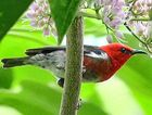 The scarlet honeyeater is birdwatcher Alan Peebles' favourite local bird.