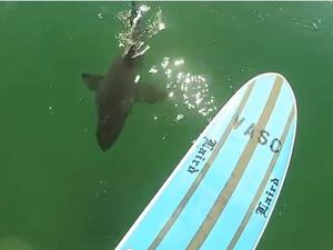 Shark attack warrants high cost surveillance at surf comp