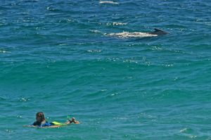 A large humpback within metres of surfers and swimmers at Snapper Rocks.