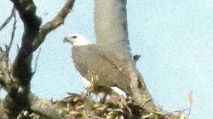 An adult female white-breasted sea eagle rests on the large nest.