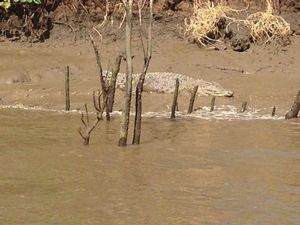 Croc sighting in Mary River