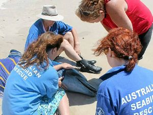 Volunteers unable to save stranded dolphin attacked by shark