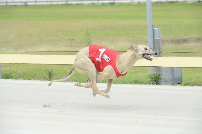 1 - Marg's Vene wins Race 6 at the Grafton Greyhounds Photo Adam Hourigan / The Daily Examiner