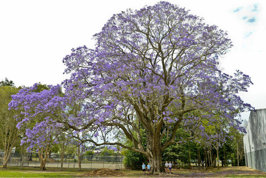 BIG TREE: Grafton High students under the jacaranda tree now thought to be the biggest in Australia.