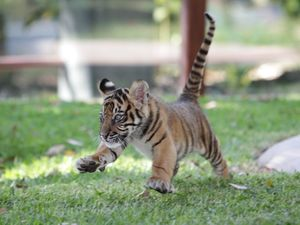 VIDEO/PHOTOS: Australia Zoo shows off twin tiger cubs