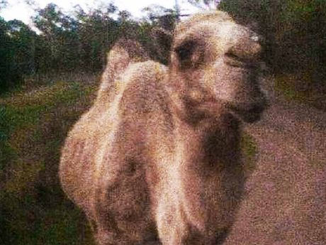 LOST: Do you know this camel?