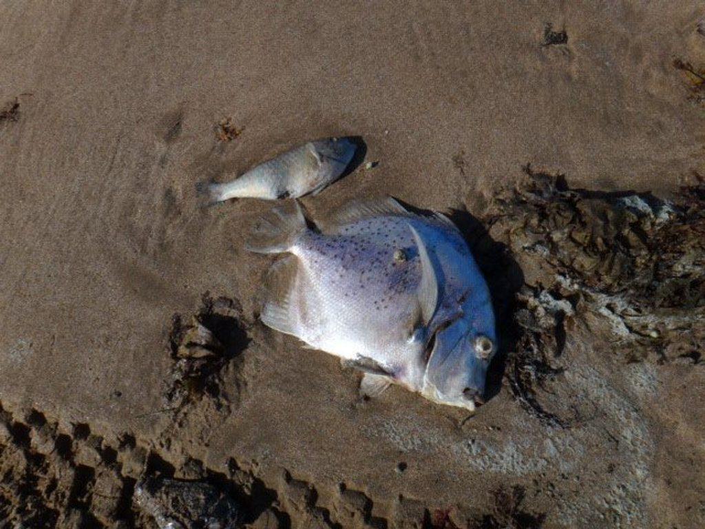 Curtis Island fish kill, Ocean Beach, South End. Photo Contributed
