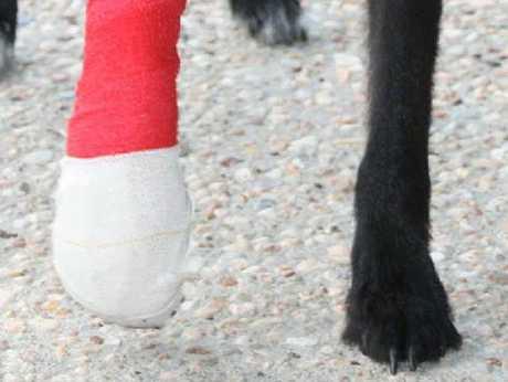 Milo's bandaged leg.