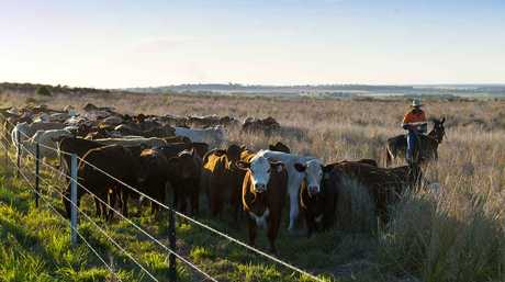 Cattle grazing on rehabilitated mining land at the Acland coal mine.