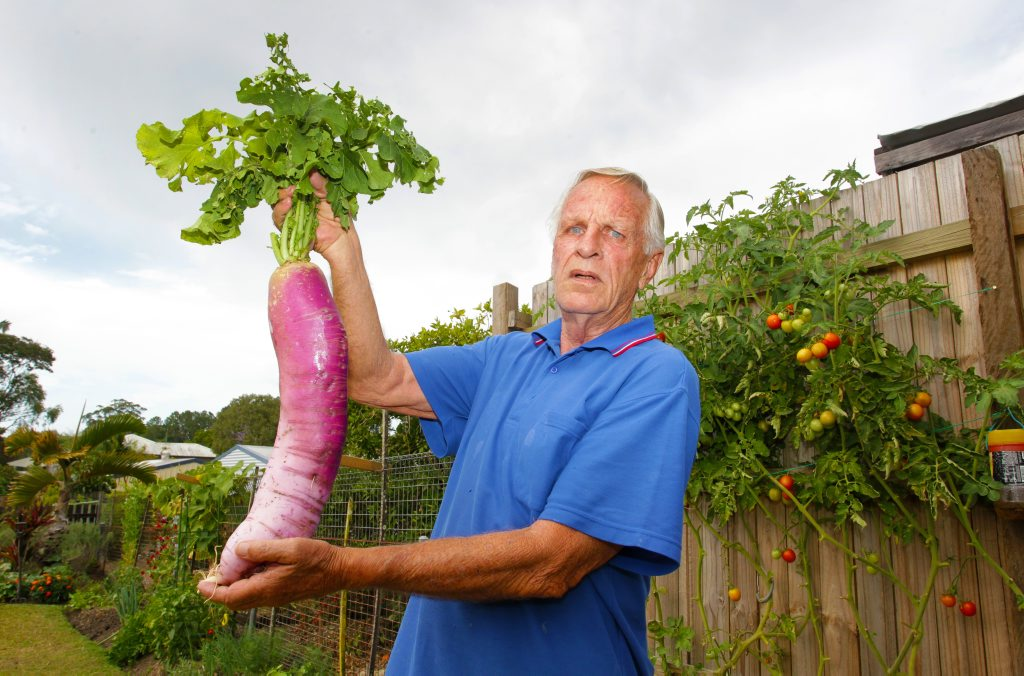 Image for sale: Nambour's Kerry Austin has grown a very large radish from seed in his backyard vegetable garden. He does know what variety it is. Photo: Brett Wortman / Sunshine Coast Daily