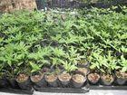 Baffle Creek drug crop had street value of $200k