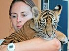 Cuddly tiger cubs debut in style on their first outing