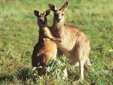 Fast tracked: Landholders can shoot 1000 kangaroos