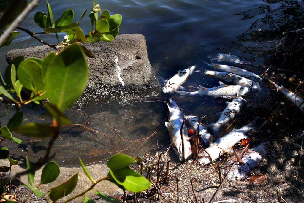 FISH KILL: A large portion of dead fish have been found in the Bargara area near Moneys Creek. Photo: Zach Hogg / NewsMail
