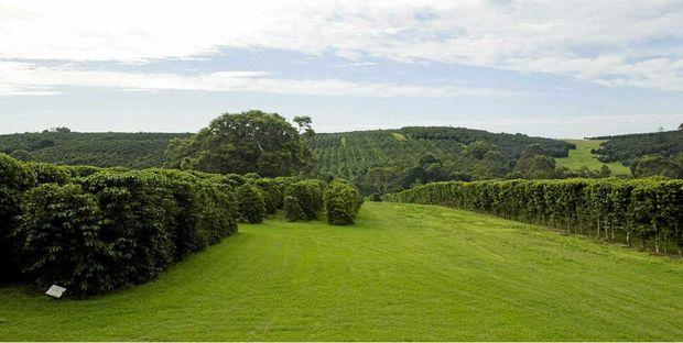 Zentveld's coffee plantation at Newrybar.