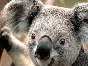 Count yourself in for koala muster