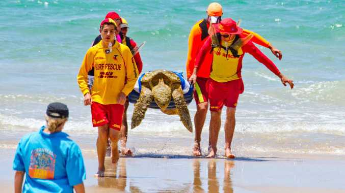 Lifesavers carry the weak turtle up the beach at Coolum.