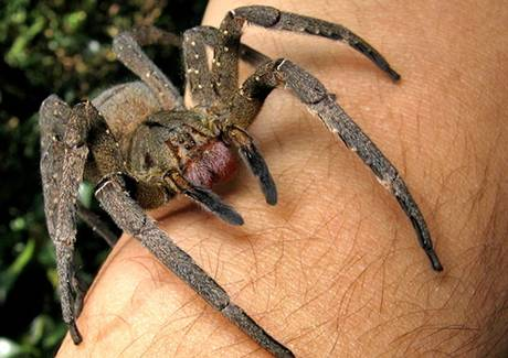 A Brazilian wandering spider Photo: João P. Burini via WikiCommons