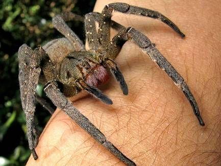 A Brazilian wandering spider Photo: João P. Burini via WikiCommons