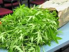 Dawson MP supports the cultivation of medicinal marijuana